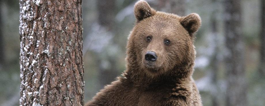 Björnskådning. Naturupplevelse med björnar